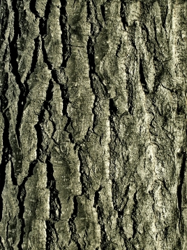 Bark_Texture_01_by_Aimi_Stock