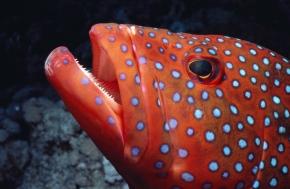 coral-trout