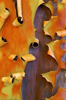 This type of manzanita grows in the San Luis Obispo region of California