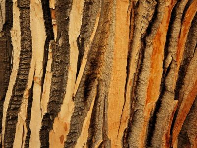 cottonwood-tree-bark_1392_600x450