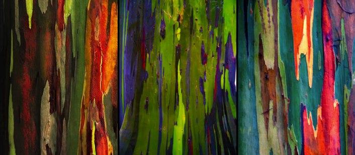 Eucalipto_arco_iris_03