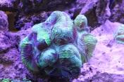 green-trachyphyllia