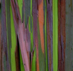 Rainbow-Eucalyptus-1 (1)