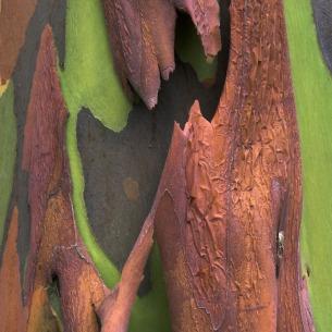 rainbow-eucalyptus-1[6]