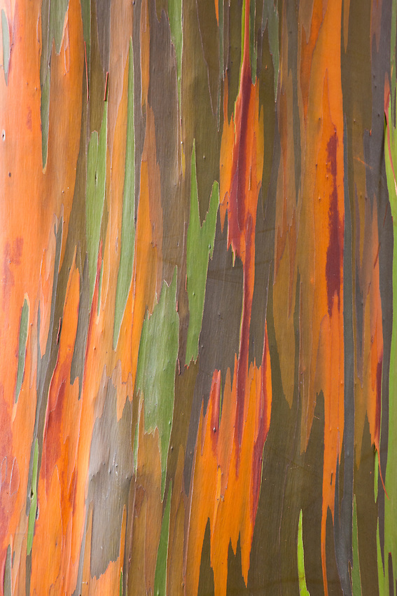 Rainbow-Eucalyptus-MG-00984
