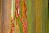 rainbow eucalyptus, o eucalipto arcoiris0 (8)